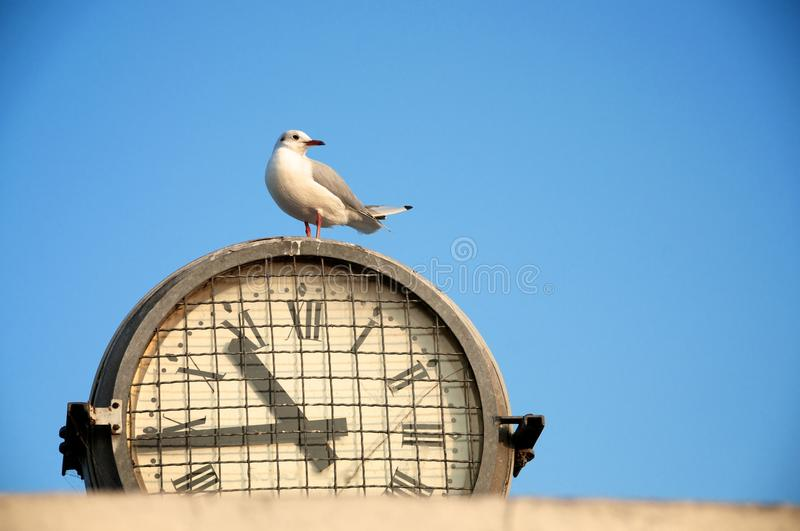 Download Seagull on a clock stock image. Image of late, alone - 26518937