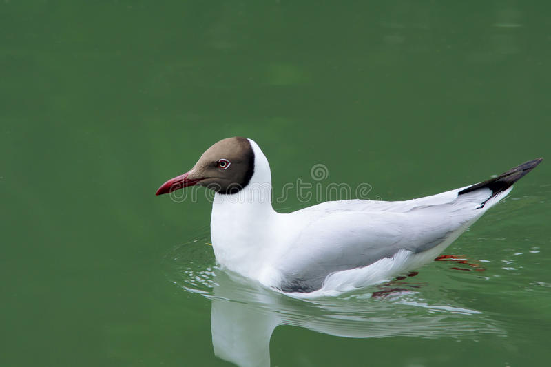 Download Seagull stock image. Image of animals, wild, gull, quet - 32925423