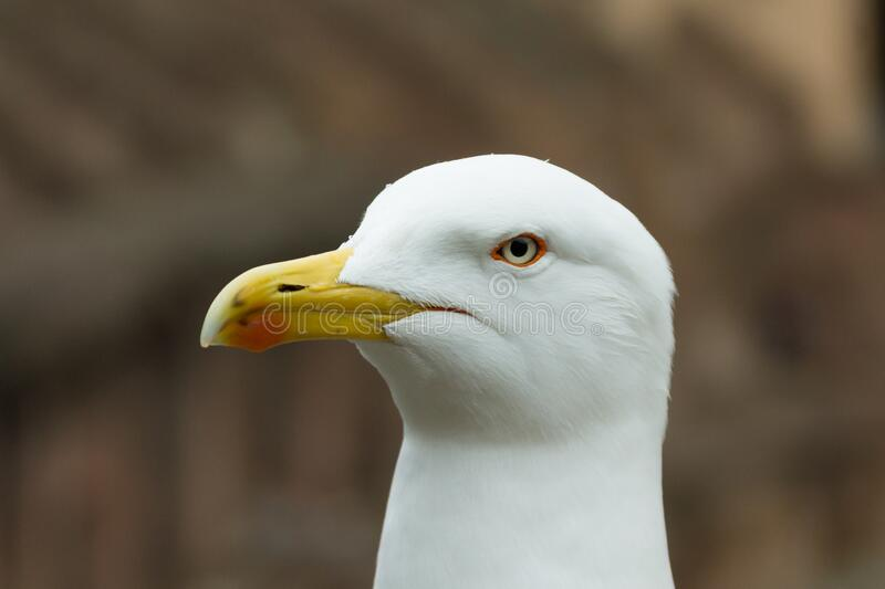 Seagull in closeup with all its details of eyes and beak in the background a Roman Colosseum, Roma, Italy. Top view. Seagull in closeup with all its details of royalty free stock image