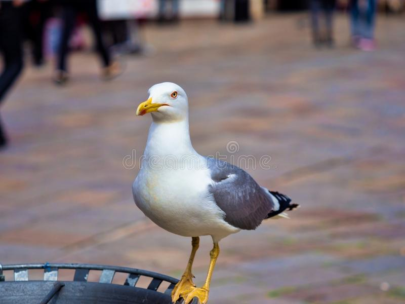 Seagull. Closeup shot of a seagull in the streets of island Murano in Italy stock photos