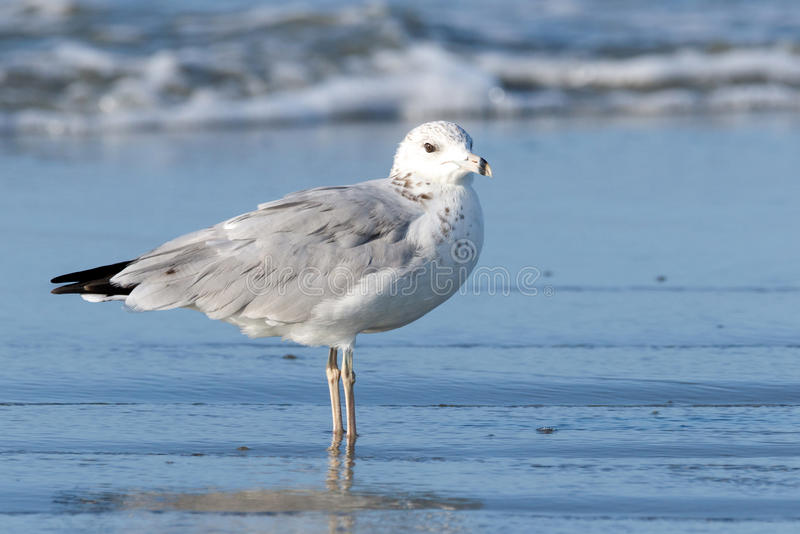 Seagull. Color DSLR stock image of a lone seagull standing on the beach with the tide coming in royalty free stock photos