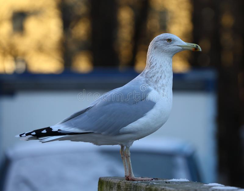 Seagull on a concrete fence. The seagull on a concrete fence stock photos