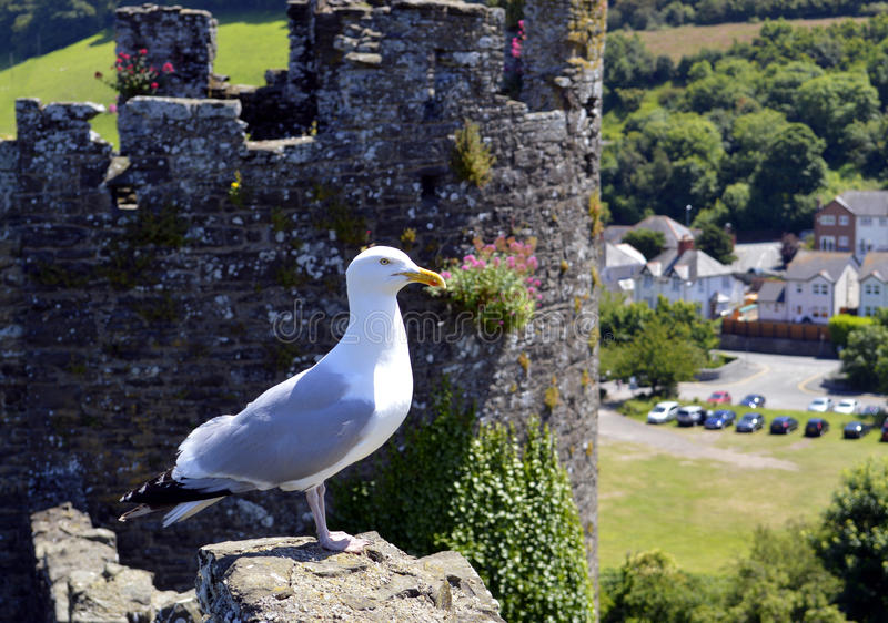 Seagull on Conwy wall. Seagull Latin name Larus argentatus on Conwy wall royalty free stock image