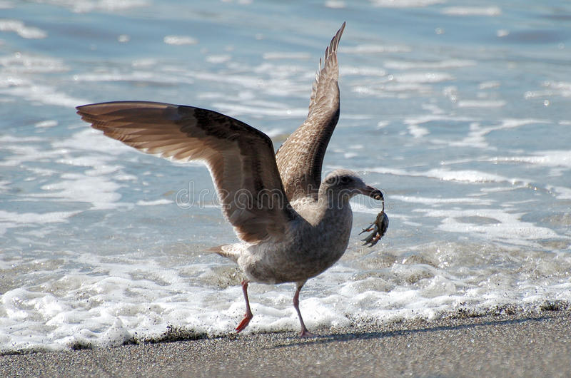 Seagull with crab