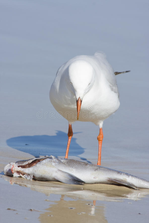 Download Seagull and dead fish stock image. Image of carcass, scavenging - 14858911