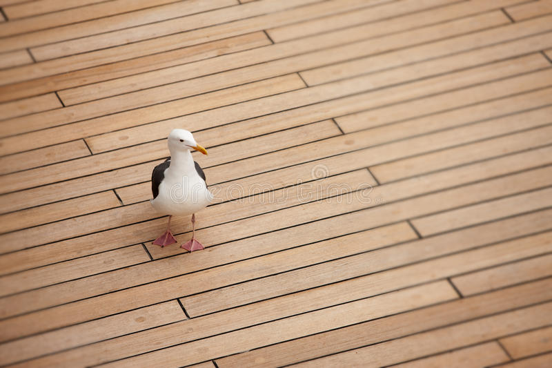 Seagull on deck. Sea bird on wooden deck of ship royalty free stock images