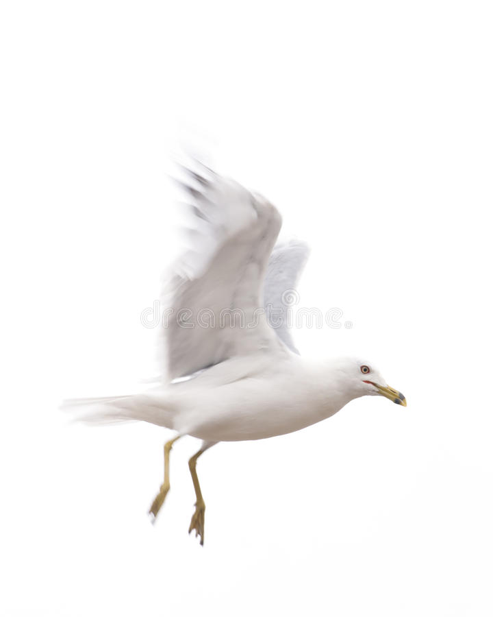 Seagull Descending From Flight Stock Photo