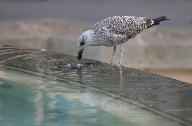 A seagull devours a dead pigeon stock photo