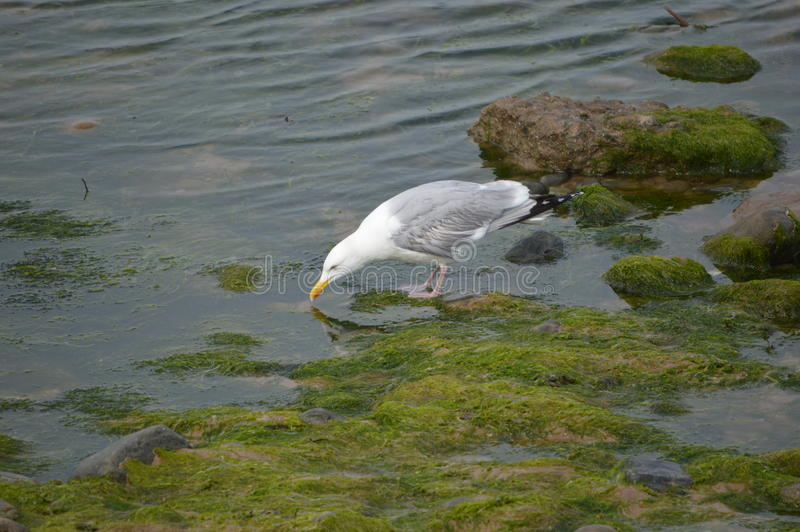 Seagull drinking from sea royalty free stock photos