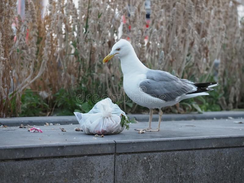 Seagull drzeje torbę na śmiecie otwartą fotografia stock