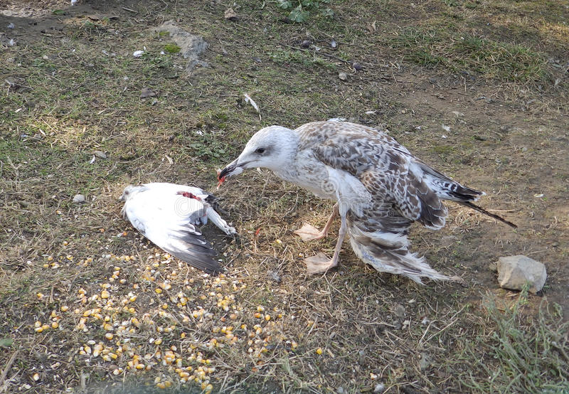 Seagull eating a dove stock image