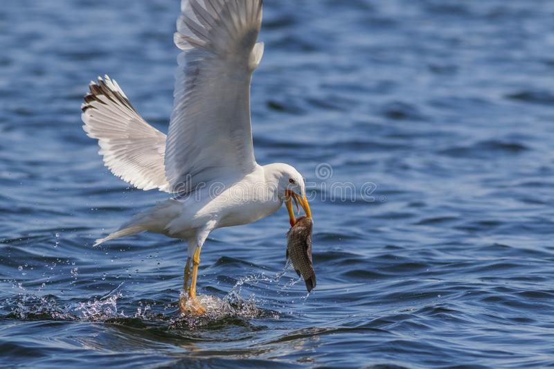 Seagull eating fish. In Danube Delta Romania stock photos