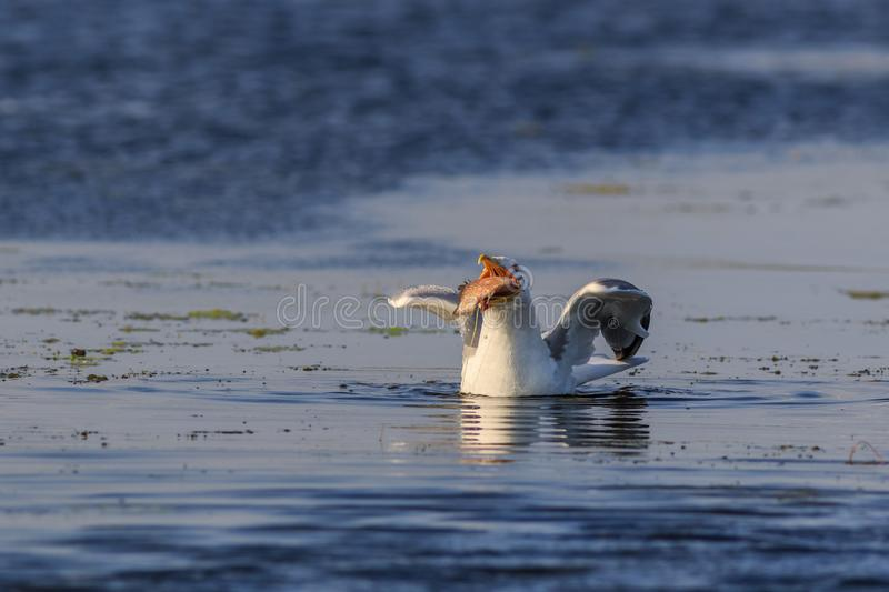 Seagull eating fish. In Danube Delta Romania stock images