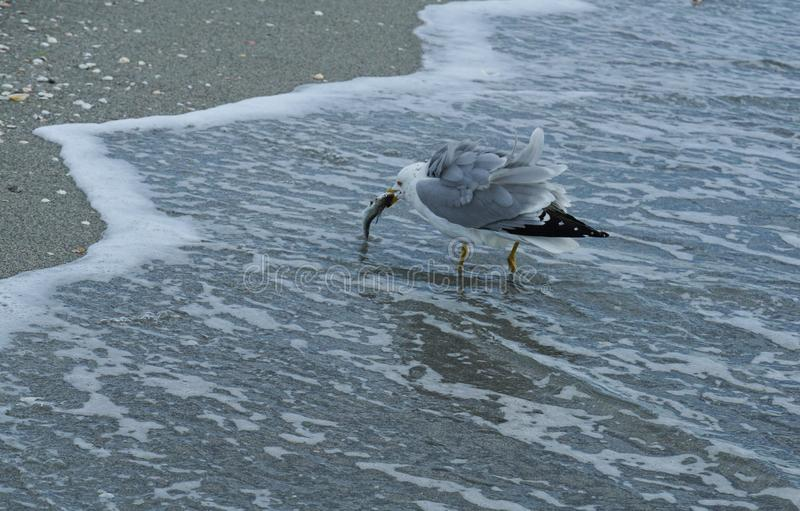 Seagull eating a fish snack royalty free stock photography