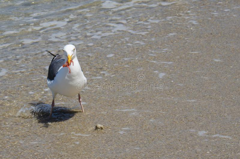 A seagull eats a tiny red tuna crab in La Jolla San Diego. These tiny crustaceans wash up on Southern California shores during a. El Niño year royalty free stock images