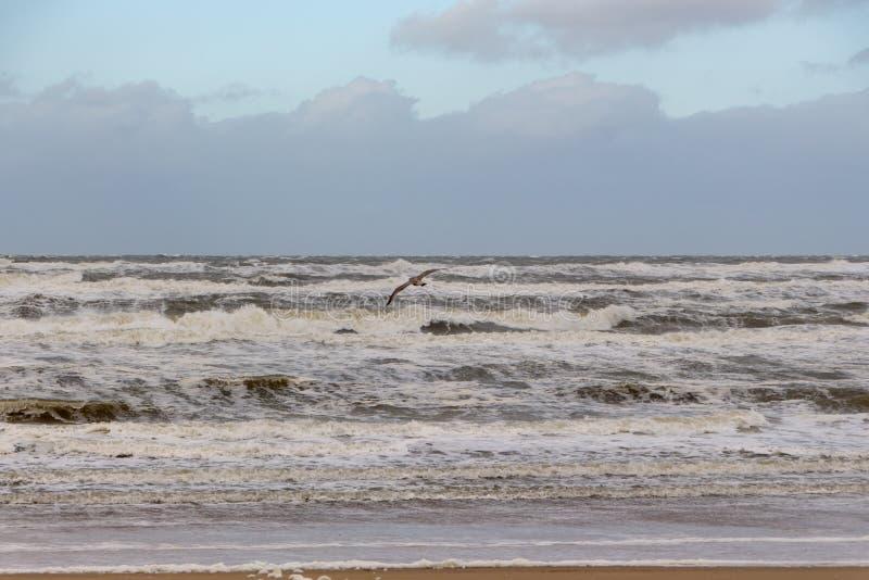 Seagull Egmond aan Zee holandie obraz royalty free