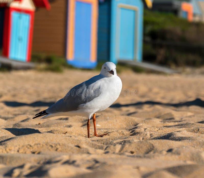 Seagull- eller silverfiskmås på stranden royaltyfria foton