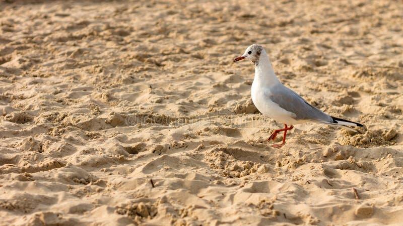 Seagull em uma praia arenosa fotografia de stock royalty free