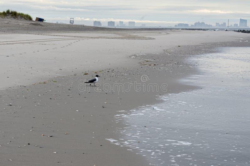 Seagull em uma praia matinal do Oceano City olhando para Atlantic City, Nova Jersey imagem de stock