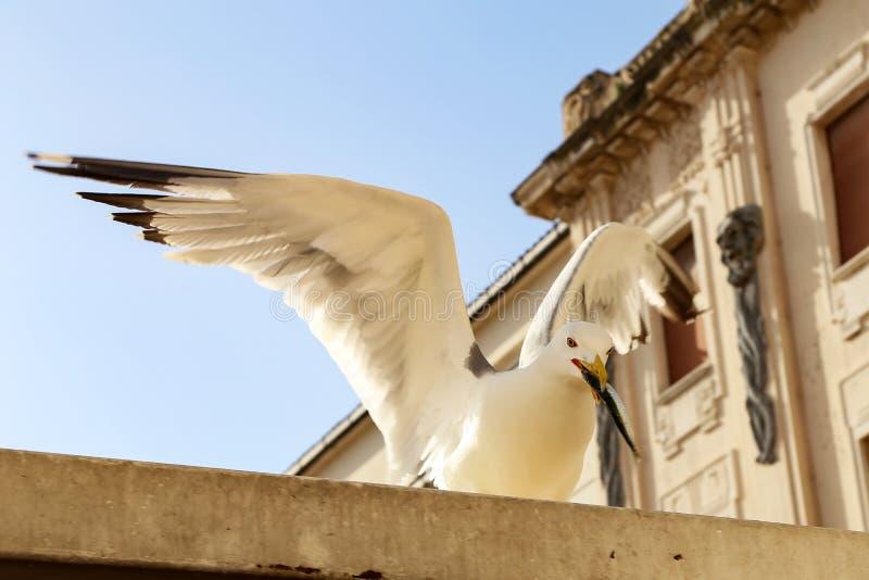 Seagull Seagull etoli ryba przy rybim rynkiem zdjęcie stock