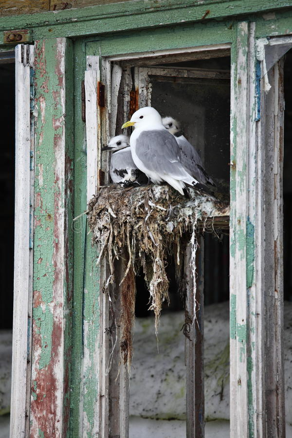 Seagull family stock photography