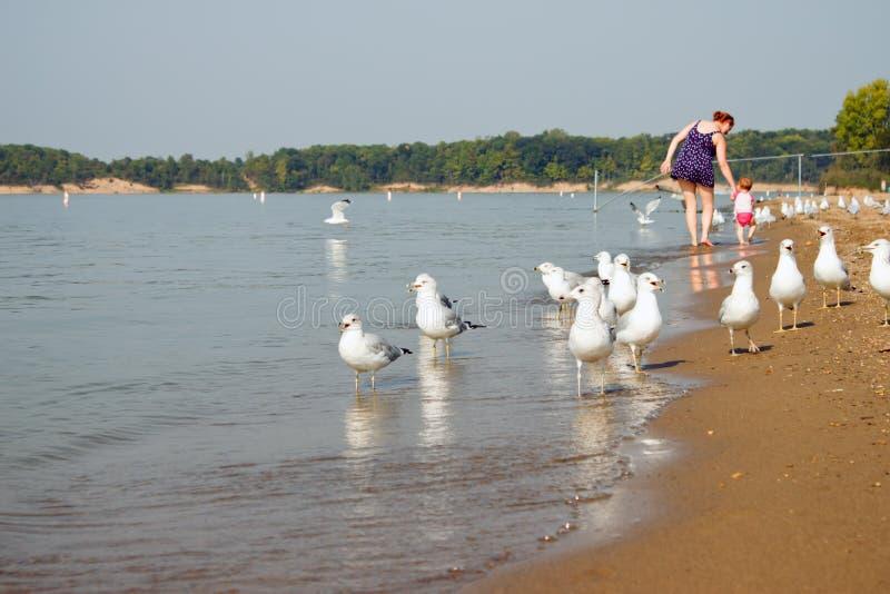 Download Seagull Family Beach Walk stock image. Image of lake - 20994277