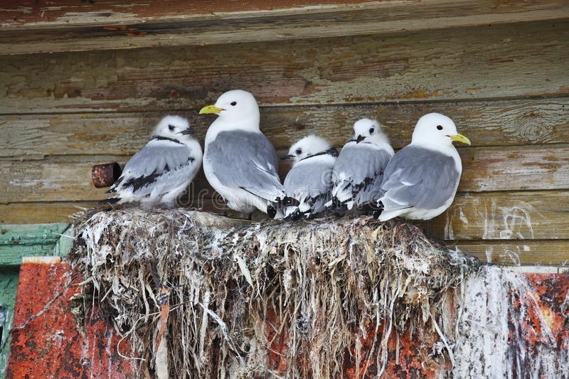 Seagull family - Black-legged Kittiwake royalty free stock image