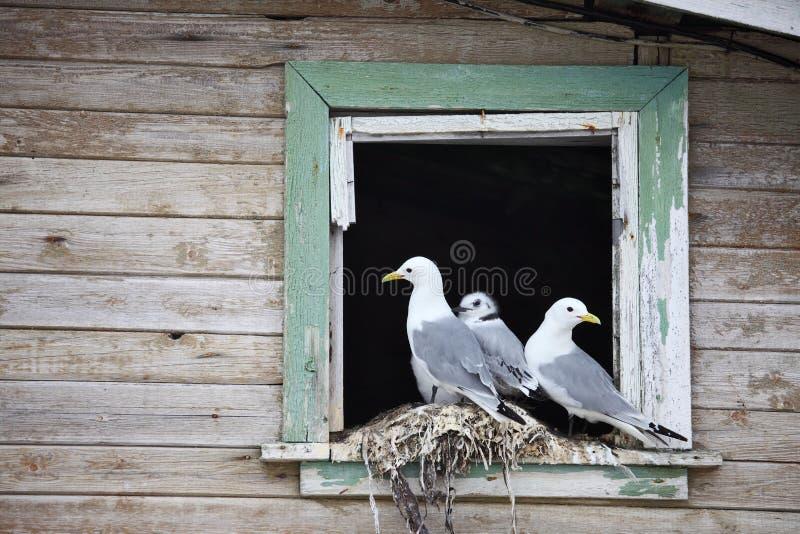Seagull family - Black-legged Kittiwake stock photos