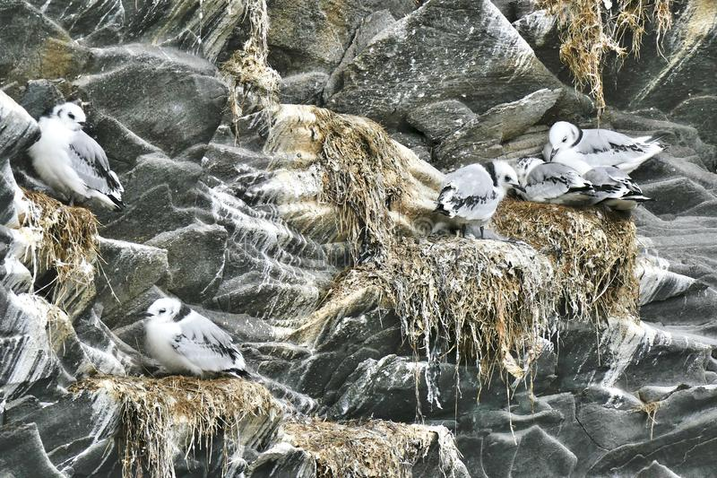 Seagull family nesting in the rocks in Hellnar, Snaefellsnes peninsula stock image