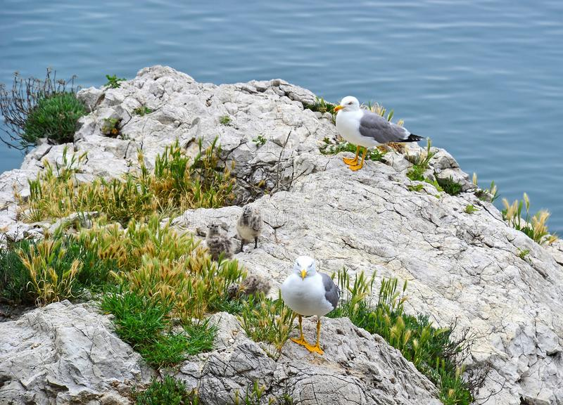 Seagull family on a rock near the adriatic sea, Trieste, Italy stock images