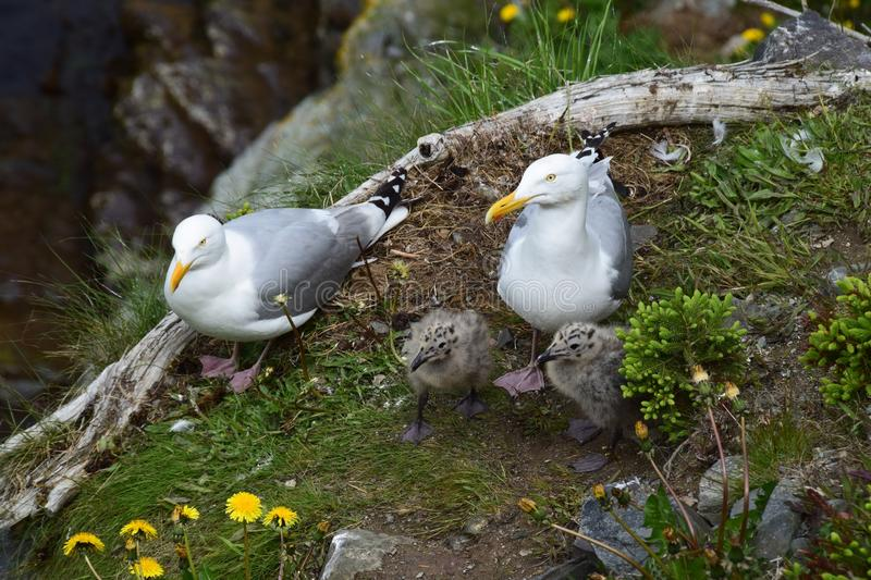 Seagull family with two baby gull chicks royalty free stock images