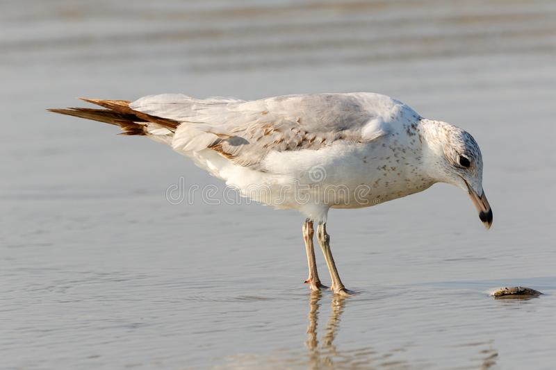 Seagull feeding on the beach at low tide. Close up of a lone seagull eating at the beach with the tide coming in stock image