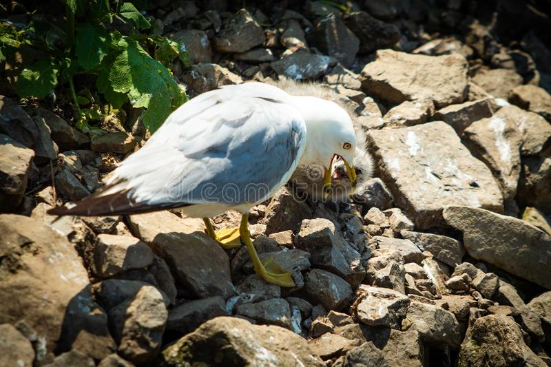 Seagull feeding small chick mouth to mouth royalty free stock images