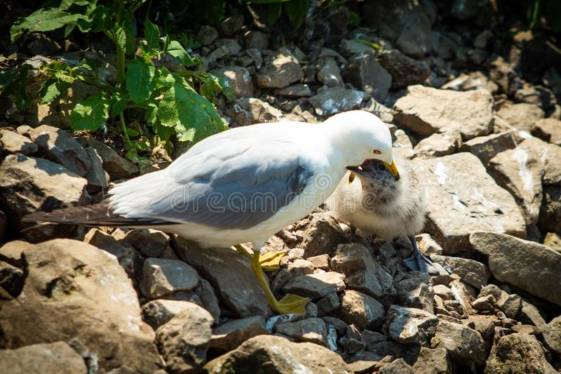 Seagull feeding small chick mouth to mouth stock photo