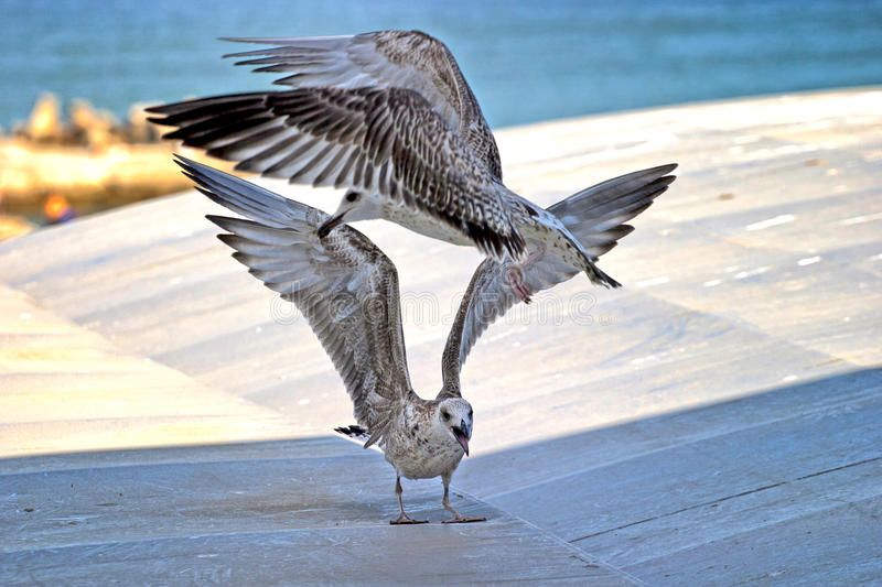 Download Seagull fight stock image. Image of fauna, rest, food - 27944375