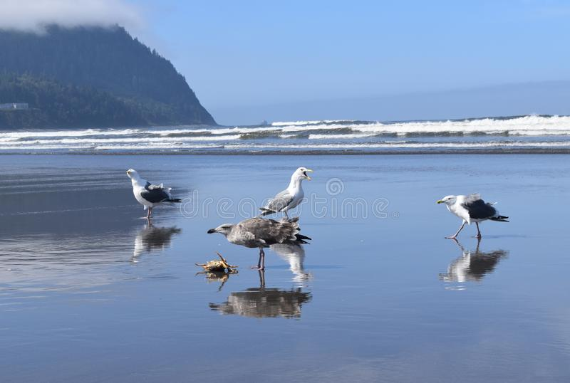 Seagull fight over dead crab stock photography