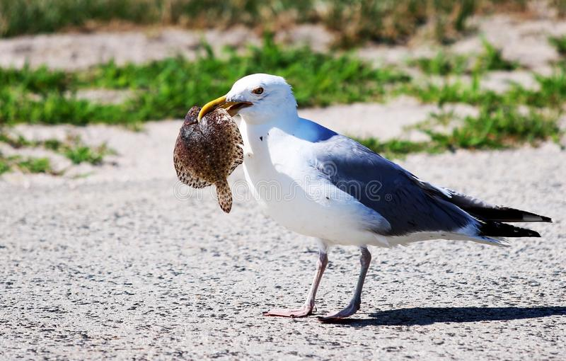 Seagull with a fish in its mouth. A seagull standing in the road with a fish in its mouth royalty free stock photos