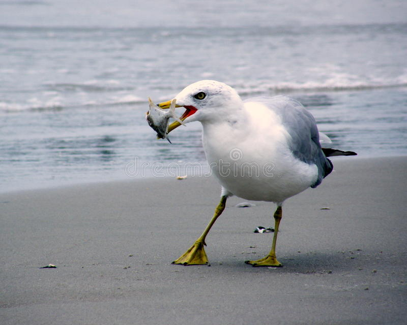 Seagull_fishing stock image