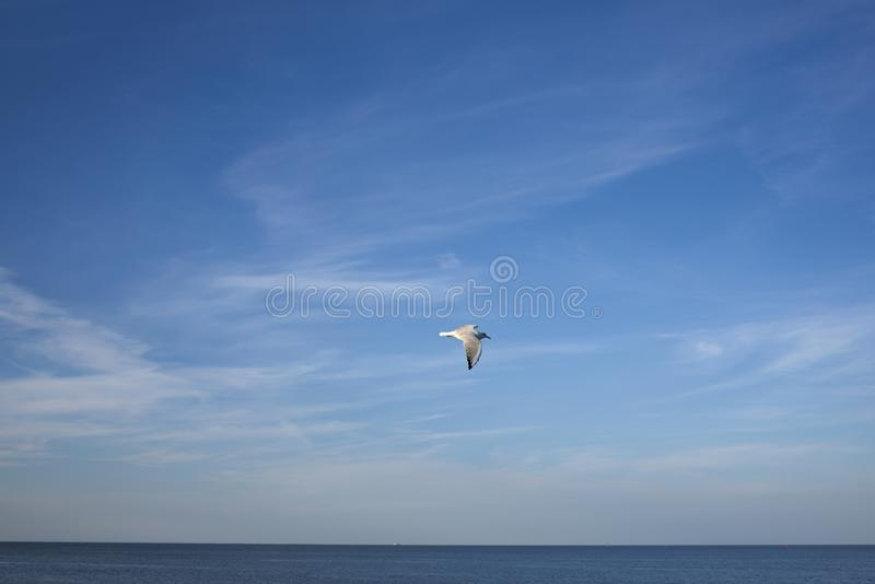 Seagull in flght royalty free stock images