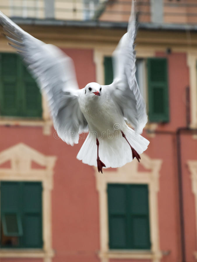 Seagull Flies Stock Photography
