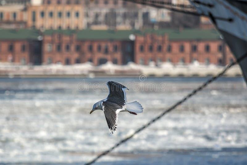 Seagull flies over the frozen Bay Golden hornin Vladivostok. Sea ice in winter in Vladivostok, Russia stock photo