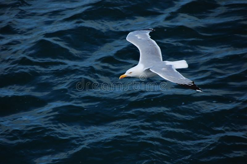 Seagull flies royalty free stock photography