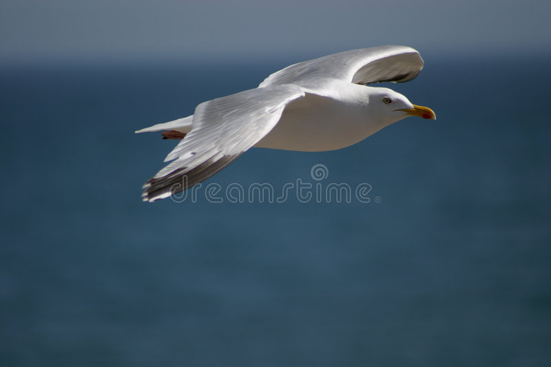 Download Seagull in flight stock photo. Image of birds, flying, ocean - 12398