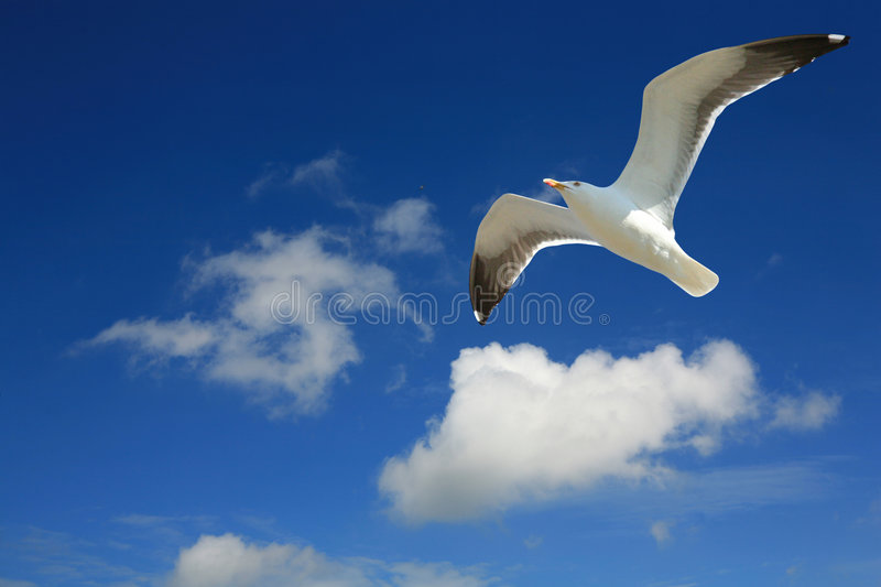 Seagull in Flight. Seagull against cloudy sky royalty free stock photography