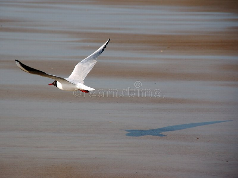 Seagull in flight. stock image