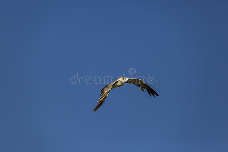Seagull 3 royalty free stock image