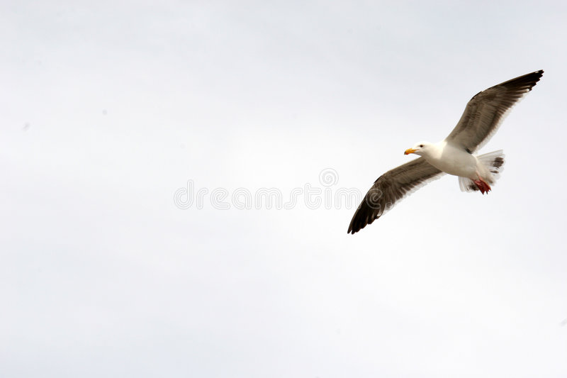 Seagull Flight with copy space stock image