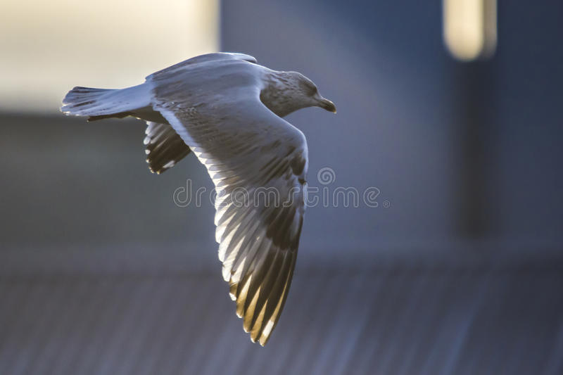 Download Seagull In Flight (disambiguation) Royalty Free Stock Images - Image: 29012709