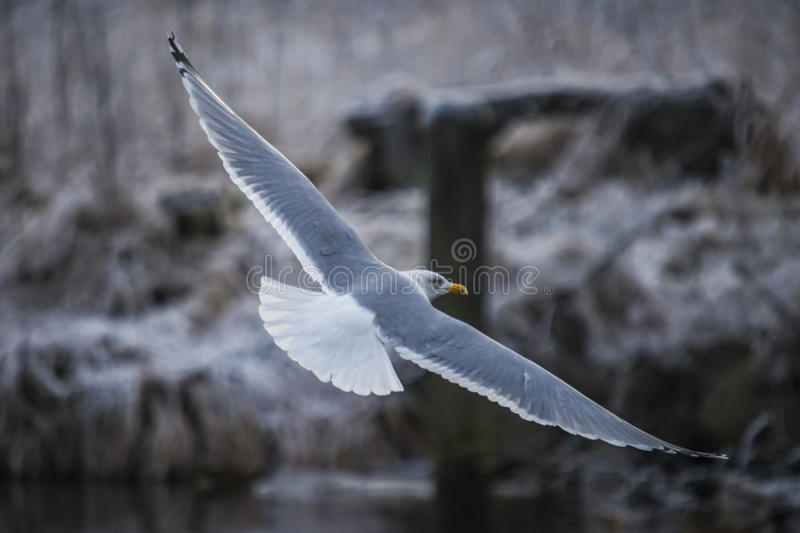 Download Seagull In Flight (disambiguation) Stock Image - Image of gliding, river: 29012731
