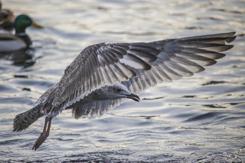 Download Seagull In Flight (disambiguation) Stock Image - Image: 29012791